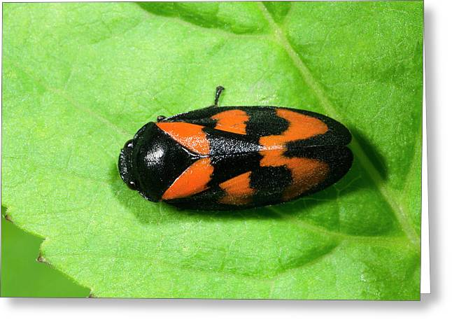 Black And Red Froghopper Greeting Card by Nigel Downer