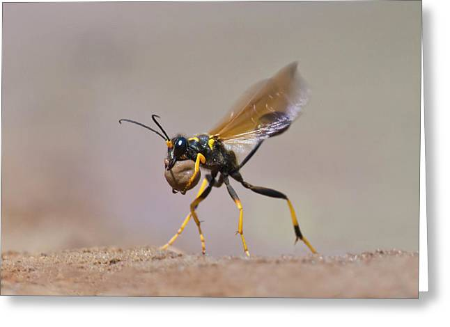 Black-and-yellow Mud Dauber (sceliphron Greeting Card by Larry Ditto
