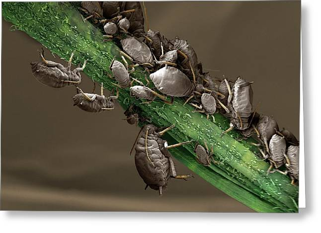 Black Aphid Colony Greeting Card by Clouds Hill Imaging Ltd