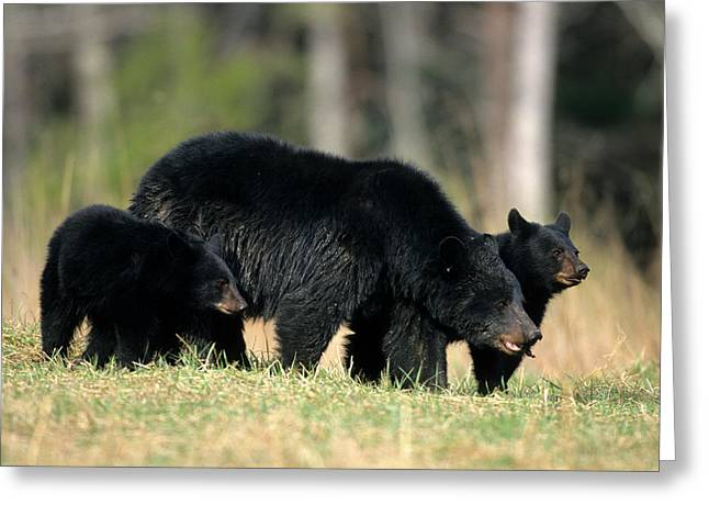 Black Bear (ursus Americanus Greeting Card by Richard and Susan Day