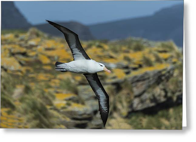 Black-browed Albatross, Falkland Islands Greeting Card by John Shaw
