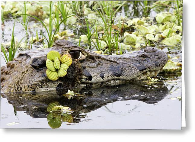 Black Caiman Greeting Card by M. Watson