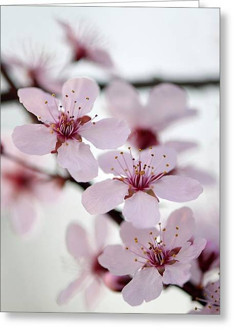 Black Cherry Plum (prunus Cerasifera) Greeting Card by Maria Mosolova