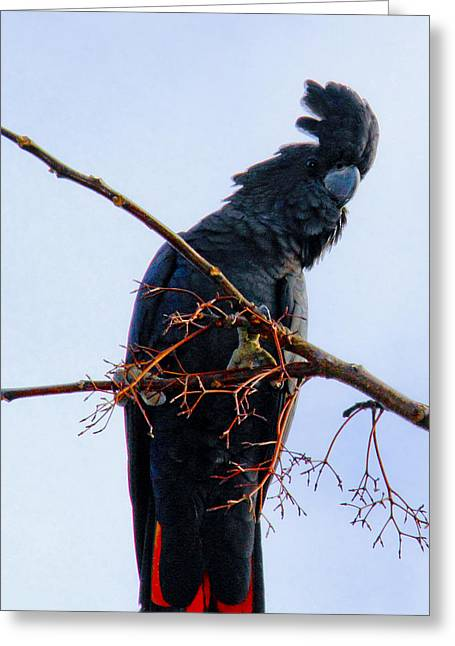 Greeting Card featuring the photograph Black Cockatoo by Debbie Cundy