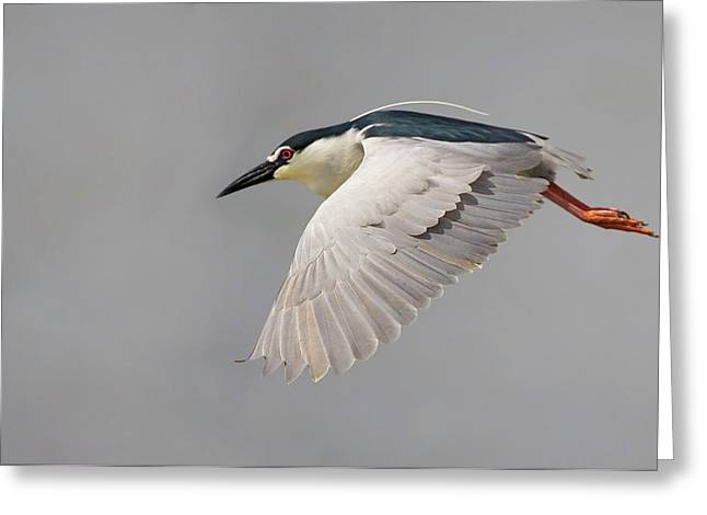 Black-crowned Night Heron Greeting Card by Photostock-israel