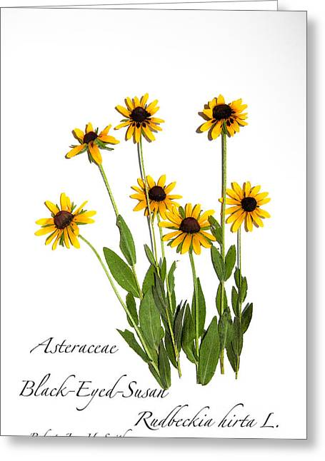 Black-eyed-susan Greeting Card