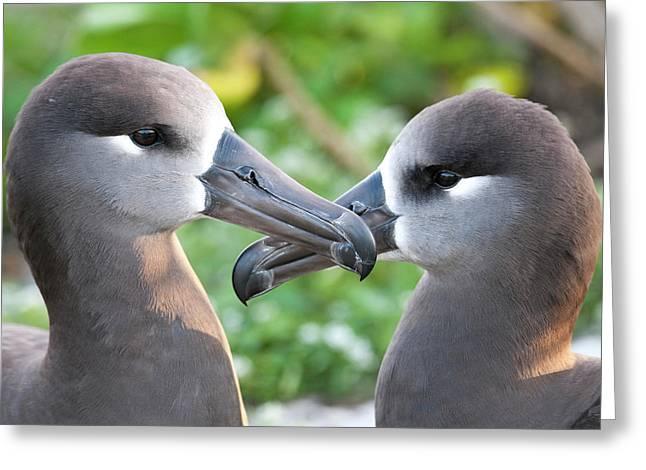 Black-footed Albatross (phoebastria Greeting Card
