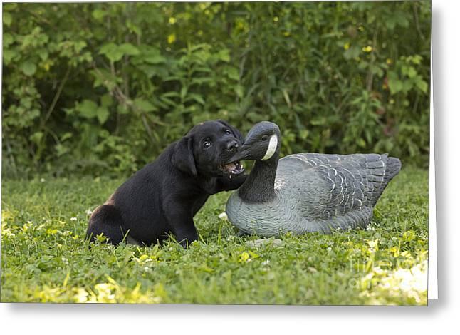 Black Labrador Retriever And Goose Decoy Greeting Card
