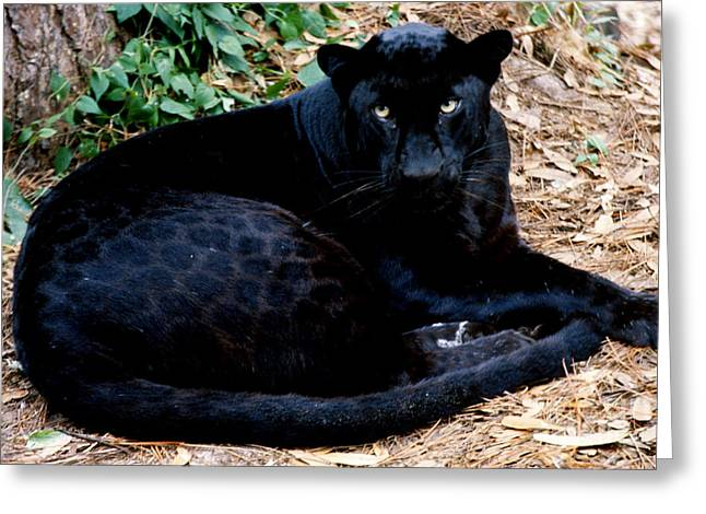 Black Leopard Greeting Card by Mark Newman