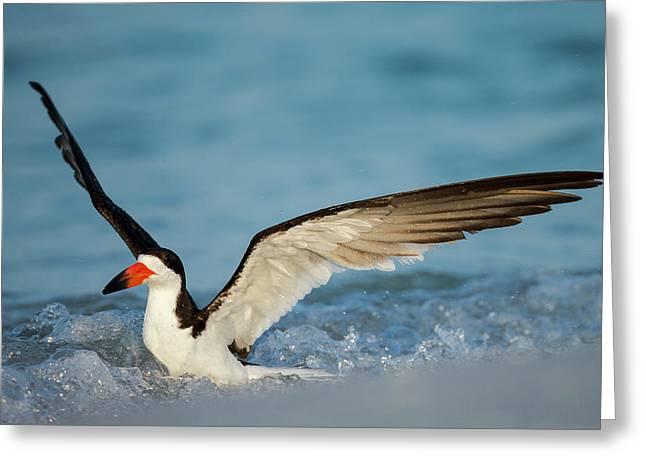 Black Skimmer Bathing Along Shoreline Greeting Card