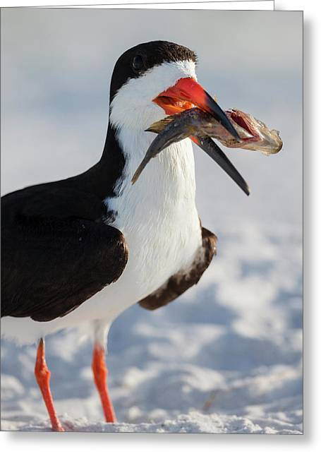 Black Skimmer With Food, Rynchops Greeting Card by Maresa Pryor