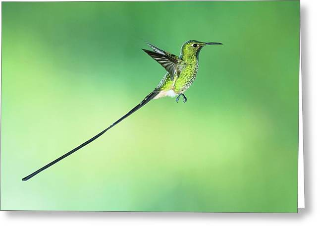 Black-tailed Trainbearer Hummingbird Greeting Card by Tony Camacho/science Photo Library
