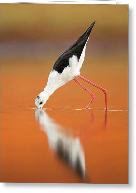 Black-winged Stilt Himantopus Himantopus Greeting Card by Photostock-israel