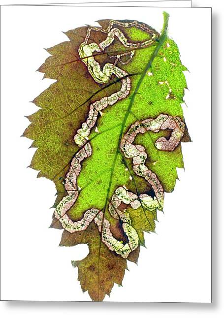 Blackberry Leaf-miner Tunnel Greeting Card