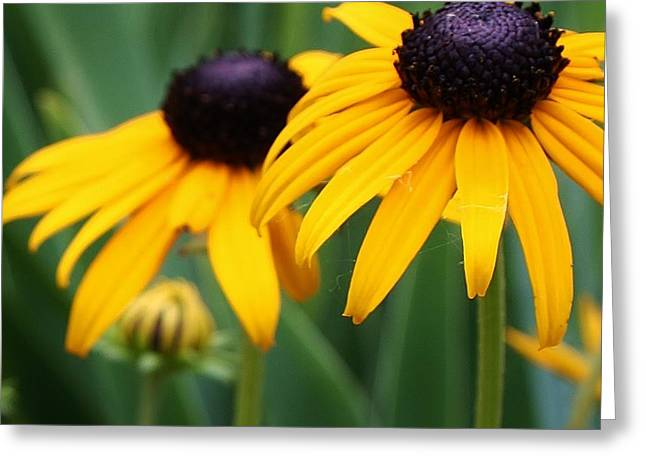 Blackeyed Susans Greeting Card by Bruce Bley