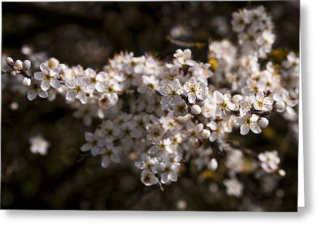 Blackthorn Blossom Greeting Card