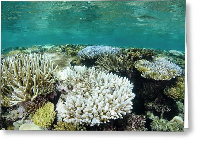 Bleached Coral, Fiji Greeting Card