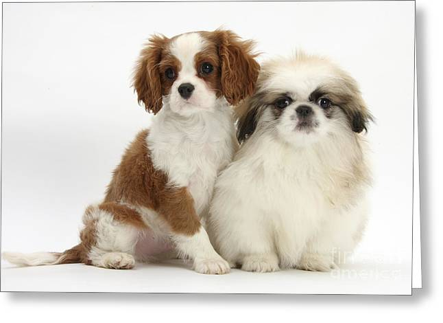 Blenheim Cavalier King Charles Spaniel Greeting Card by Mark Taylor