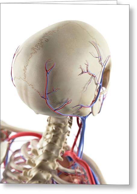 Blood Vessels In The Head Greeting Card by Sciepro