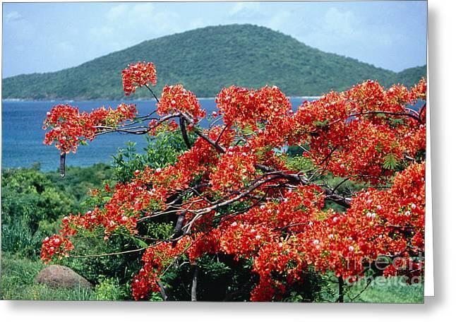 Blooming Flamboyan Tree  Greeting Card