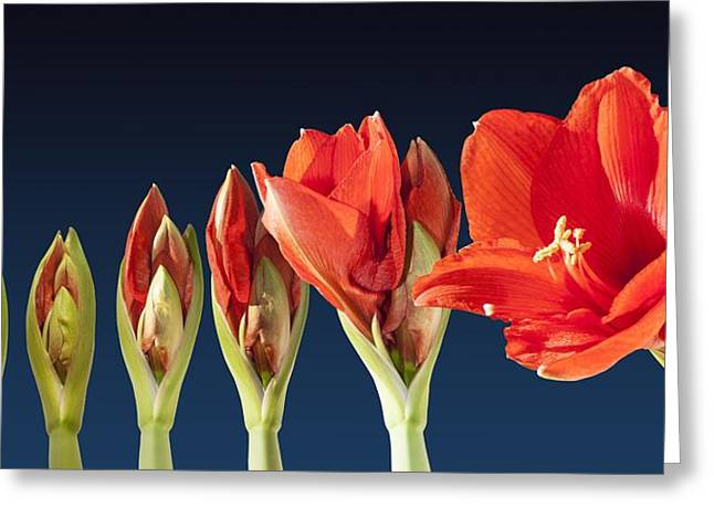 Blossoming Amaryllis Flower Greeting Card