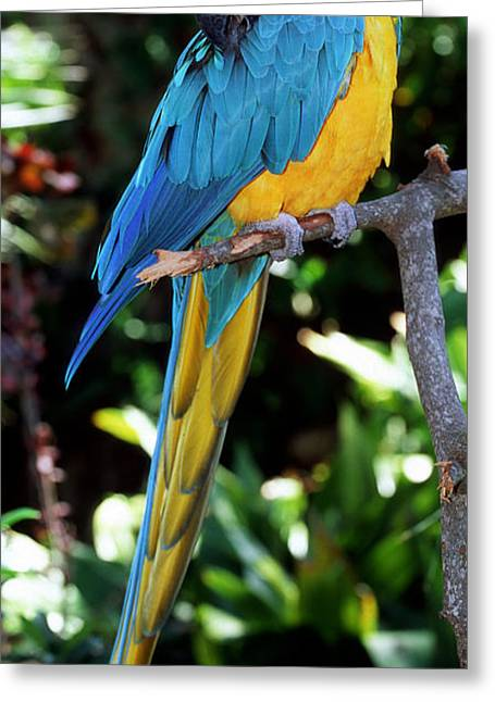 Blue And Yellow Macaw Greeting Card by Millard H. Sharp