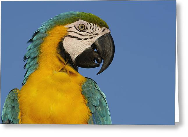 Blue And Yellow Macaw Portrait Greeting Card by Pete Oxford