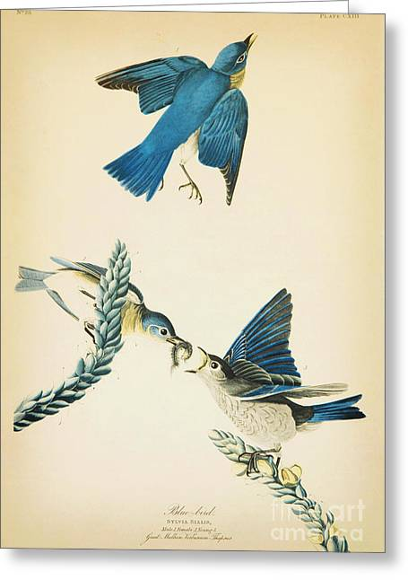 Blue Bird Greeting Card by Celestial Images