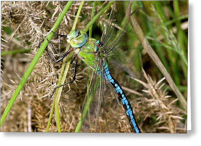 Blue Emperor Dragonfly Greeting Card by Bob Gibbons