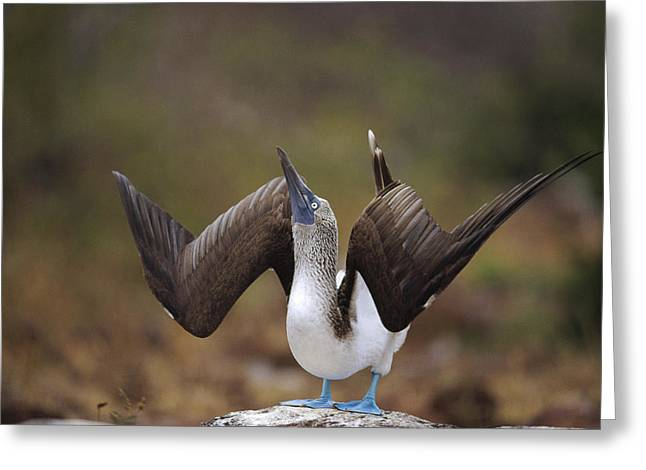 Blue-footed Booby Courtship Sky Greeting Card by Tui De Roy