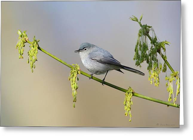 Blue Gray Gnatcatcher Greeting Card by Daniel Behm