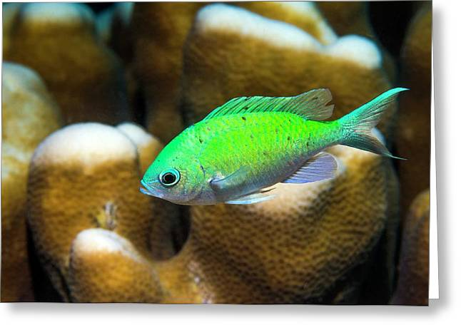 Blue-green Chromis On Coral Greeting Card by Georgette Douwma