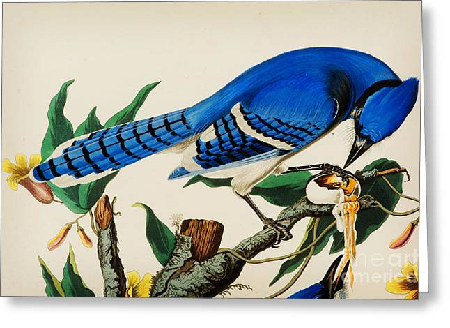 Blue Jay Greeting Card by Celestial Images
