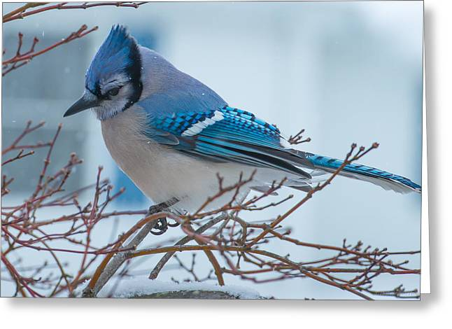 Blue Jay Greeting Card by Phil Abrams