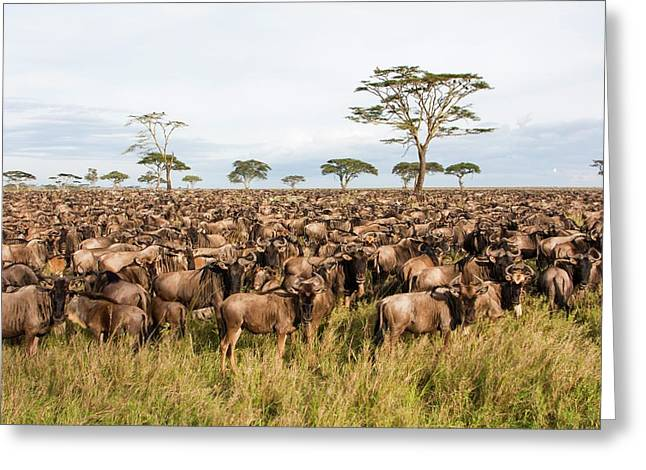 Blue Wildebeest Connochaetes Taurinus Greeting Card by Photostock-israel
