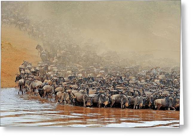 Blue Wildebeest Migration Greeting Card