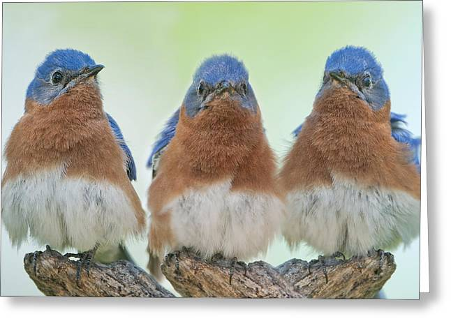 Bluebirds Of Happiness Greeting Card