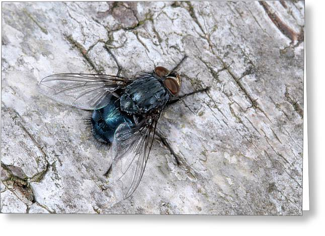 Bluebottle Fly Greeting Card by Nigel Downer
