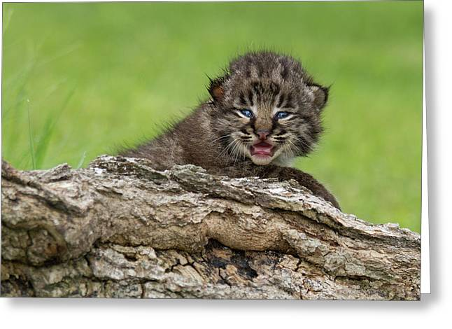 Bobcat Lynx Rufus Kitten Greeting Card by Debbie Dicarlo
