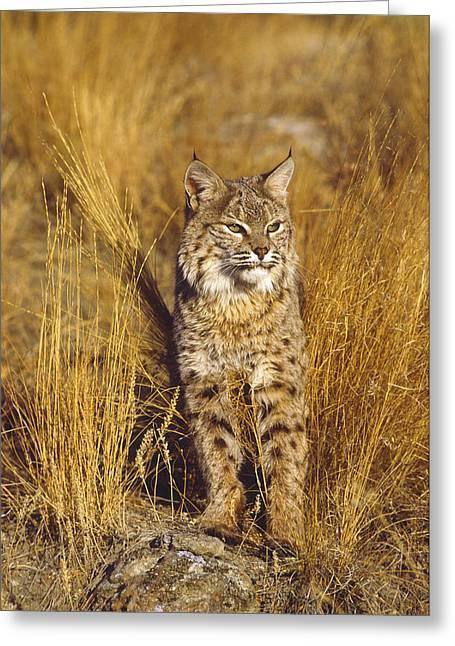 Bobcat Greeting Card by Tom Vezo