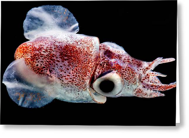 Bobtail Squid Heteroteuthis Dagamensis Greeting Card