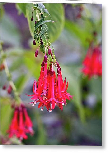 Bolivian Fuscia (fuschia Boliviana) Greeting Card by Dan Sams