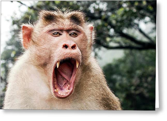 Bonnet Macaque Yawning Greeting Card by Paul Williams