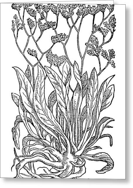 Botany Sea Lavender Greeting Card by Granger