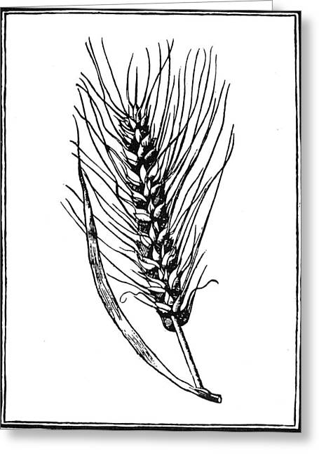 Botany Wheat, 1579 Greeting Card by Granger