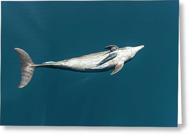 Bottlenose Dolphin And Remora Greeting Card by Christopher Swann