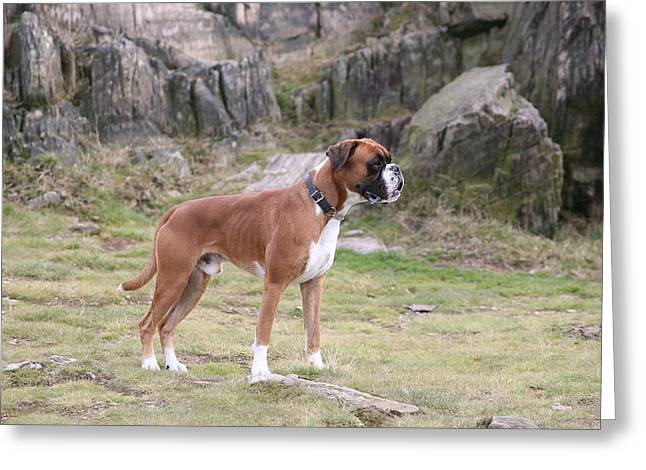 Boxer Dog Greeting Card by Mark Severn