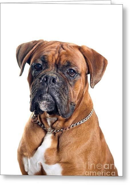 Boxer Dog Portrait  Greeting Card by Viktor Pravdica