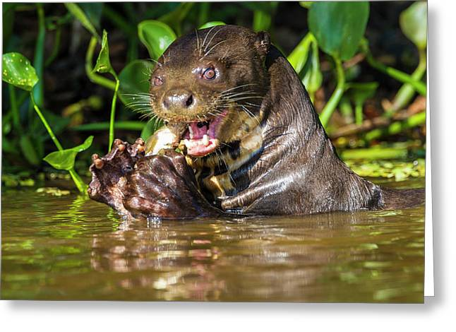 Brazil Giant River Otter (pteronura Greeting Card
