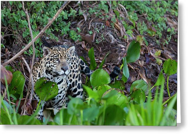 Brazil, Mato Grosso, The Pantanal, Rio Greeting Card